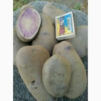 Картопля / картошка сорт Солоха