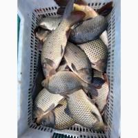 В продаже живая рыба с пруда! КАРП по АКЦИОННОЙ ЦЕНЕ! Живой карп