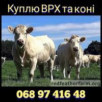 Куплю ВРХ, бики та коні. У Вінницькій, Хмельницькій, Черкаській та сусідніх областях
