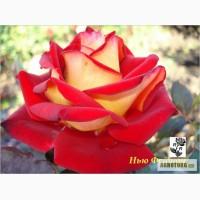 Розы, штамбовые, плетистые, бордюрные, плетистая, кустовые, патио,