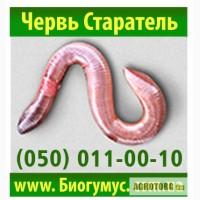 Владимирский червь Старатель купить для производтсва биогумуса. Харьков