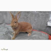 Продам кролики породи Бургундець та Каліфорнієць