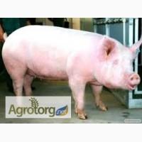 Продам свиней породы Петрен живым весом