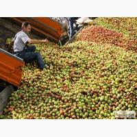Компания Терминал В закупает яблоки на переработку урожая 2016