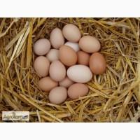 Продам домашние экологически чистые куриные яйца, Чернигов