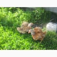 Мясо-яичные цыплята по 25 грн