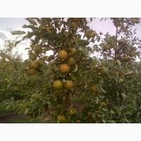 Яблука оптом з саду