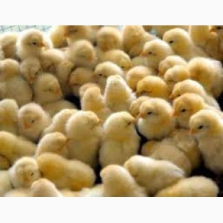 Продам цыплят-бройлеров и мясо-яичных цыплят