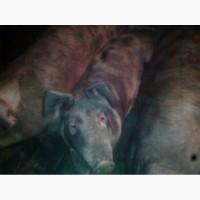 Продам своих свиней живым весом