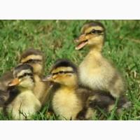 Купити яйця інкубаційні качок Мулард