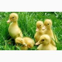 Покупайте инкубационные яйца уток Мулард