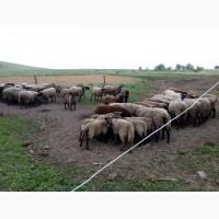 Продам вівцематки