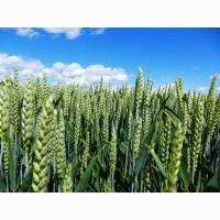 Пшеница озимая Мулан 1 репродукция