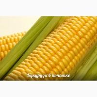 Пшеница кукуруза экспорт