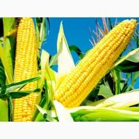 ВН 6763 (ФАО 320) посівний матеріал кукурудзи