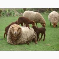 Закупаем дорого бараны овцы козы крс