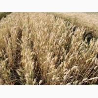 Продам семена озимой пшеницы. Сорт Зіра