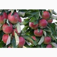 Саджанці колоновидноі і низькорослоі яблуні від виробника оптом готовий бізнес проект