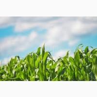 Гибрид БИГСТАР ФАО 240 семена кукурузы