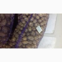 Семенной картофель БРИЗ 2 репродукция