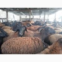 Продам баранов маток ярок гиссарской породы