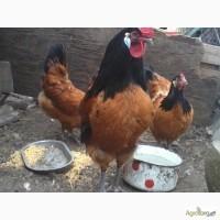 Продам инкубационное яйцо курей Форверк