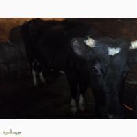 Продається корова