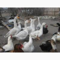 Продам взрослых гусей породы Легард