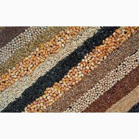 Сушка зерна. Сушка масличных и бобовых культур
