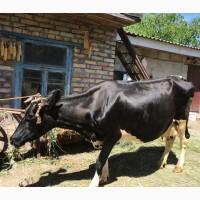 Продаю корову, молочной породы