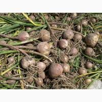Продам насіння часнику на посадку від 1кг
