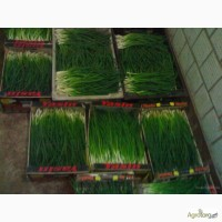 Перо зеленоі цибулі - співпраця, великий об#039; #039; єм