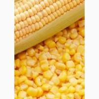 Закуповуємо кукурудзу в Сумах і області