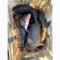 Открыта продажа живой рыбы, опт, розница