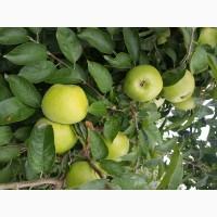 Продам яблука зимових сортів з власного саду 2021 року