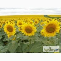 Продам насіння соняшнику гібриду Голд Імі