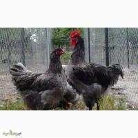 Продажа инкубационных яиц кур породы Гигант Джерси.Доставка по всей Украине