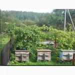 Віск бджолиний