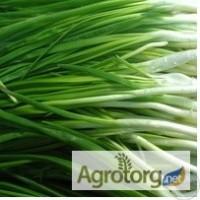 Продам зелену цибулю (перо) власного виробництва оптом і в роздріб