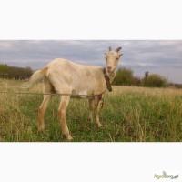 Коза зааненская годовалая