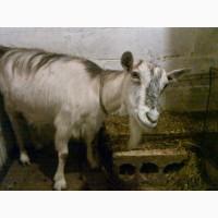 Продам дойную безрогую козу, погуляная, Новопрокровка, 20 км от Харькова