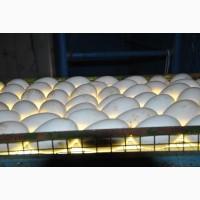 Гусиные яйца для инкубации. Белые легарт и крупные серые