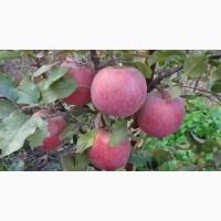 Саджанці яблуні Фуджі Кіку 8 щеплені на карликовій підщепі М 9