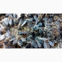 Не плідні мічені матки української степової бджоли