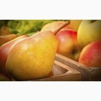 Куплю от производителя яблоки и груши опт