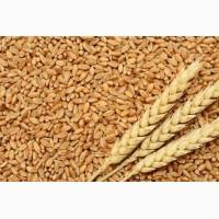 Закупаем пшеницу и другие зерновые культуры