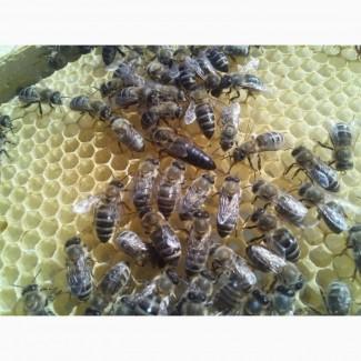 Бджоломатка Карпатка (Вучківський тип, Говерла). 2019 року плідні мат