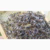 Плідна бджоломатка Карпатка