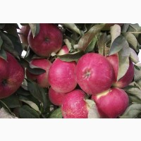 Саджанці від виробника яблунь колоновидних і низькорослих опт і крупний опт