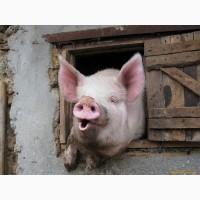 Продам свиней живою вагою 120 - 150 кг